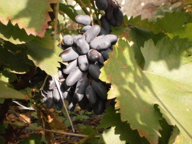 гроздь винограда в лозе