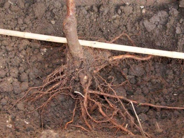 корни винограда в яме