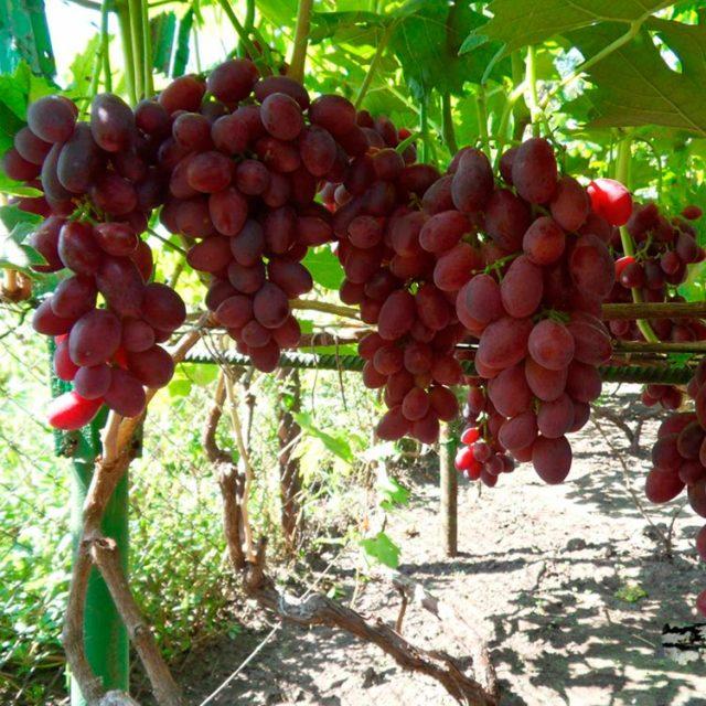 гроздья винограда на кусту