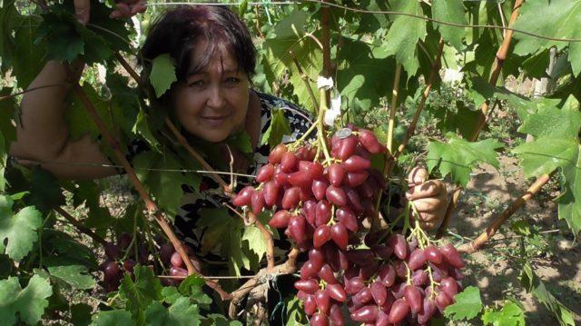 куст винограда с женщиной