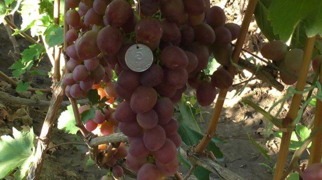 гроздь винограда с монетой