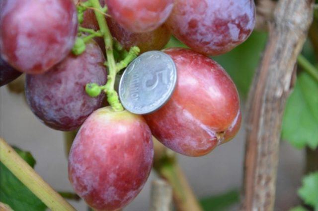 ягода винограда с монетой