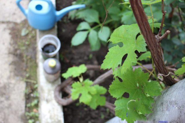 виноградные листья на лозе