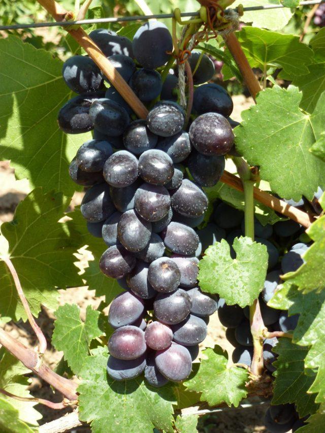 гроздь черного винограда