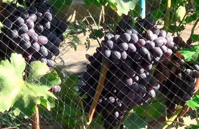 виноград од сеткой