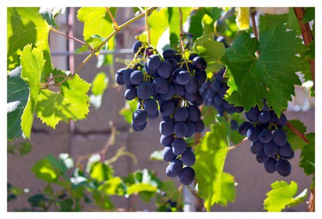 гроздь винограда на кусту