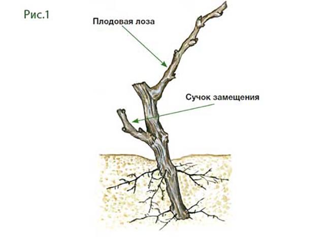 лоза с корнем