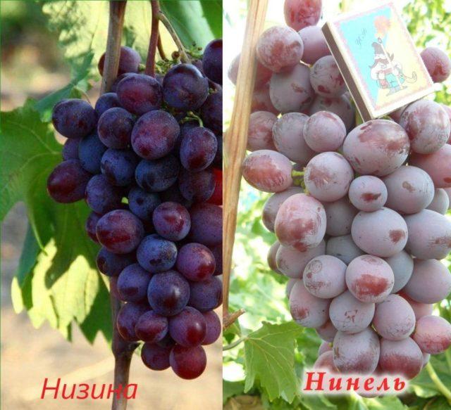 два вида винограда