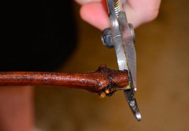 обрезание черенков