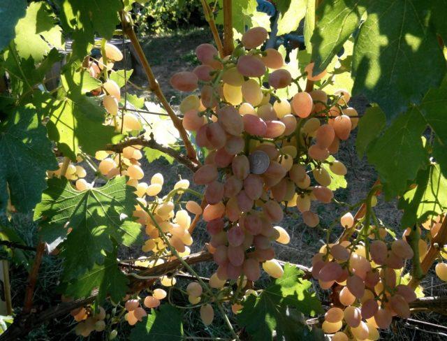 гроздь винограда, лоза
