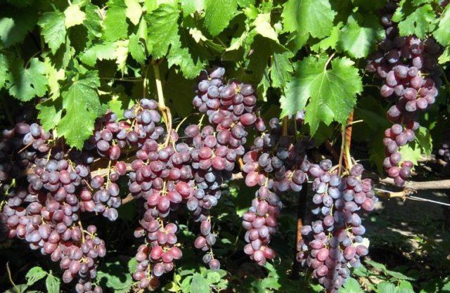 лоза винограда с гроздьями