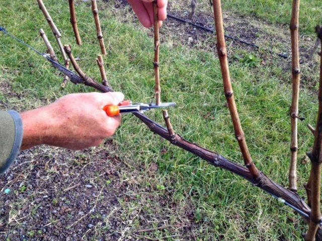 рука с ножницами, лоза винограда