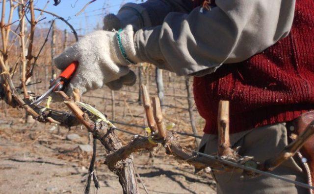 обрезание винограда