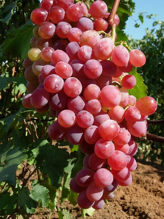 гроздь красного винограда