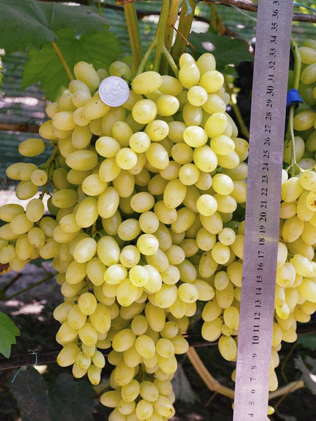 гроздь винограда с линейкой