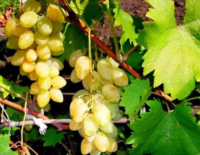 гроздья на лозе