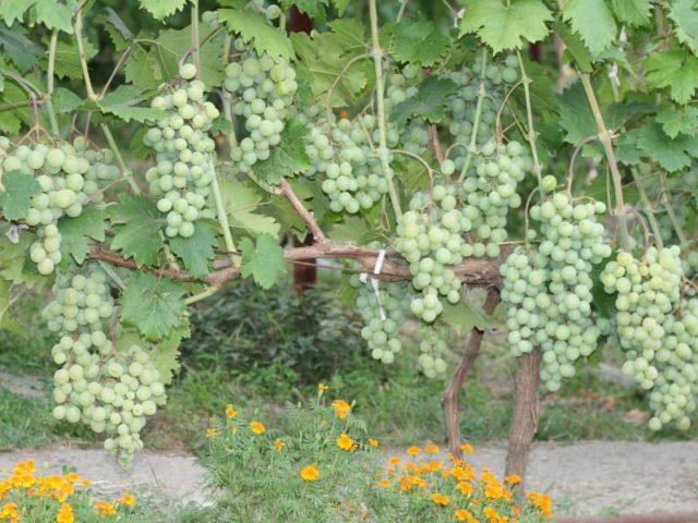 лоза винограда с кистьми