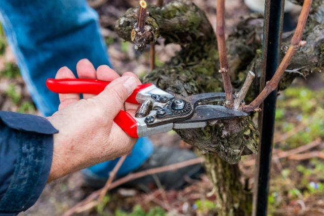 обрезание лозы винограда