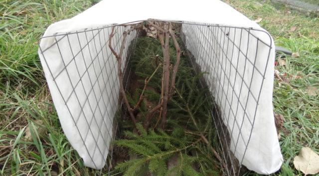 виноград под укрытием