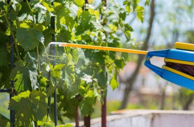 обработка лозы винограда