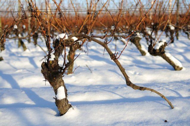 виноградная лоза под снегом
