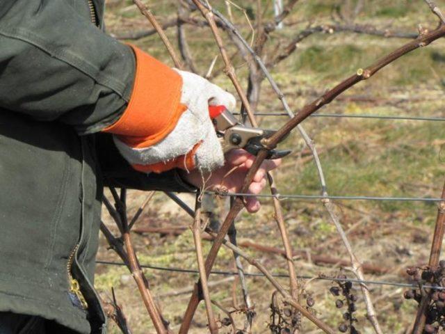 обрезка лозы винограда