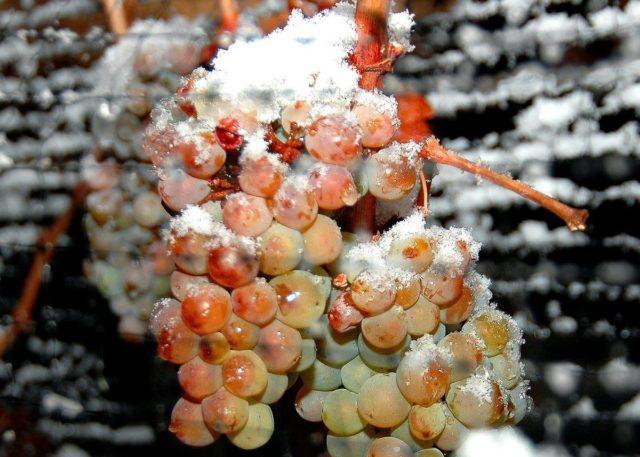 гроздь винограда замержшая