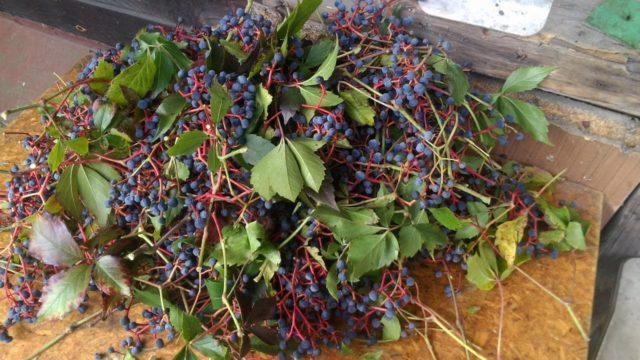 дикий виноград собранный