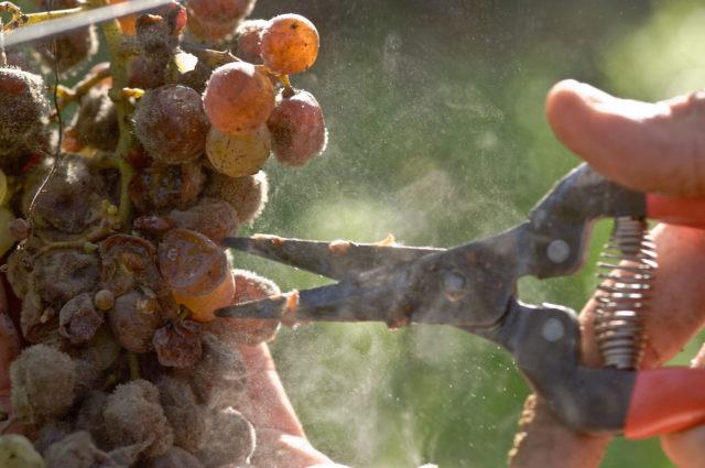 ножницы, виноград
